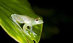 Glass Frog (Gus McNab) Tags: glass frog
