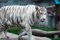 Trote (D.M.AlvarezFotografia) Tags: zoo huachipazoo tigreblanco animales