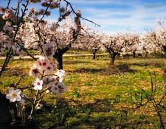 [ #63 :: 2017 ] (Salva Mira) Tags: flors flores flower ametler almendro almondtree almondblossoms marinaalta lamarina paísvalencià valldepop bokeh salva salvamira salvadormira