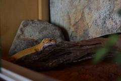 (M. Weatherwax) Tags: gecko leopardgecko terrarium