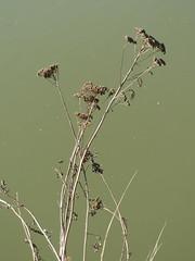 Tanacetum vulgare (anro0002) Tags: tanacetumvulgare saarbrücken rainfarn