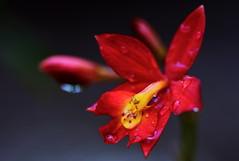 flower 1092 (kaifudo) Tags: sapporo hokkaido japan botanicalgarden flower epicattleyaveitchii greenhouse 温室 札幌 北海道 北大植物園 エピフロニチス・ビーチイ nikon d810 sigmaapomacro150mmf28 sigma 150mm macro kaifudo