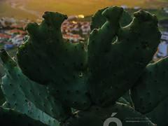 DSCF0904.jpg (José Luis Marrero Medina) Tags: laspalmasdegrancanaria vegetación amanecer spain miradordemonteluz planta sunrise laspalmas tunera naturaleza flor grancanaria canaryislands españa islascanarias