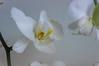 Orchid3 (Мaistora) Tags: white plant orchid flower nature beautiful beauty yellow closeup dof bokeh decorative sony fine clarity pale leopard handheld nik spotted exquisite delicate pse topaz lightroom pristine oss nex stabilisation stabilization denoise 5r 1650mm emount nex5r sel1650pz epz1650oss