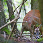 Roe Deer, Lineover Wood, Cotswolds, Gloucestershire thumbnail