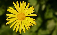 blóm (skolavellir12) Tags: flower yellow blóm gulur