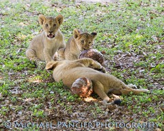 Lion Cubs (Michael Pancier Photography) Tags: animals zoo us babies unitedstates florida miami wildlife lions lioncubs commercialphotography naturephotographer babylions michaelpancierphotography landscapephotographer fineartphotographer michaelapancier wwwmichaelpancierphotographycom zoomiami