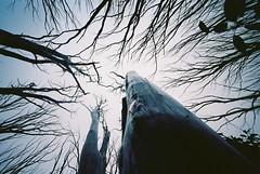 (pipedreamy) Tags: leica trees film delete10 forest 35mm delete9 delete5 delete2 delete6 delete7 voigtlander wideangle delete8 delete3 delete delete4 save2 gloom m3 15mm leicam3 filmphotgraphy voigtlanderheliar15mmf45 kodakektar100