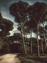 (kekyrex) Tags: trees italy rome roma italia parks pino pini umbrellapine villaada fakevintage piniromani