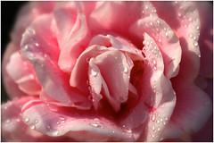 soft pink (Creative_Pixels (On/Off Busy)) Tags: pink flowers light sunlight white flower macro nature water floral fleur beauty closeup garden botanical photography droplets petals flora soft pastel blossoms jardin australia pale camellia