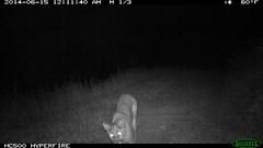 Mountain lion 6/15/2014 @12:11 - 12:12am (BobcatWeather) Tags: california mammal puma cougar mountainlion pumaconcolor motionsensor felidae cameratrap bobcatweather georgiastigall fwnp
