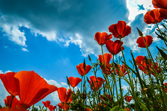 Poppies 2 (Stuart Lilley Photography) Tags: flowers plants plant flower nature nikon poppy poppies nationaltrust lightroom clumberpark d3200