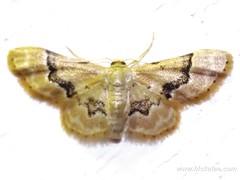 Geometer Moth - Family Geometridae - NMW 19 July 2014-063 (Dis da fi we) Tags: belize geometermoth geometridae moth nationalmothweek puntagorda toledo wildlife nationalmoth mothing cottages hickatee