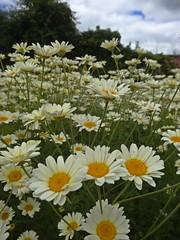 Pushing Up Daisies (Bricheno) Tags: flowers daisies scotland escocia paisley szkocja walledgarden schottland scozia cosse  esccia  barshawpark  bricheno scoia