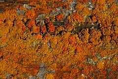 Fléttur (eirikurtor) Tags: orange macro iceland ísland gulur skagafjörður glaumbær norðurland fléttur