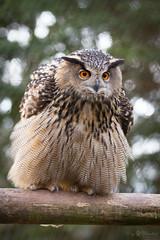 eagle owl (Cloudtail the Snow Leopard) Tags: wildpark pforzheim tier animal vogel bird eule uhu eagle owl cloudtailthesnowleopard