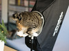 Yoo-hoo! Is anyone out there? (rampx) Tags: cat funny tabby tail tabi neko 猫 softbox ねこ miaw profoto offshot