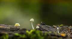 No one see You (Nicola Carraro) Tags: macro forest mushrooms moss 5 sony tube bark extension nex industar502