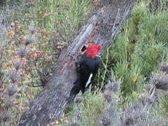 Campephilus magellanicus - carpintero gigante (*manuela*) Tags: bird argentina aves vogel vertebrata picidae pasare carpinterogigante campephilusmagellanicus