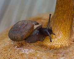 Snail Eating Mushroom (bbum) Tags: nature mushroom snail missouri canonef100mmf28lmacroisusm