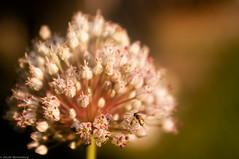Tiny Fly on Tiny Flowers in the early morning light. (DavyRocket) Tags: flower macro closeup fly pentax bokeh iso400 k20d tokina2885macrozoom