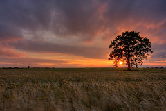 Sun Salutation (Andy_Goss) Tags: county ireland sunset red summer sky tree golden wheat hour lone settingsun carlow irishlandscapes