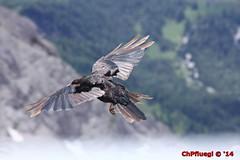 IMG_9895 (Pfluegl) Tags: wallpaper berg christian alpen dachstein steiermark hintergrund pfluegl ramsau dohlen dohle hchster kalkalpen bersterreich pflgl
