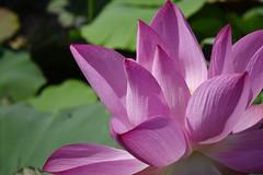 Lotus (ddsnet) Tags: plants lotus sony taiwan cybershot aquatic  taoyuan aquaticplants          rx10