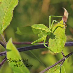 Broad-Winged Katydid (3 of 7) at Duke Farms of Hillsborough NJ (takegoro) Tags: nature animal insect wildlife katydid sanctuary naturepreserve dukefarms nj hillsborough katydid broadwinged