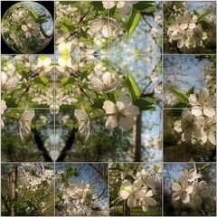Flower Moon (Tlgyesi Kata) Tags: whiteflower spring globe blossom mosaic botanicalgarden mozaik weepingcherrytree flexify fvszkert botanikuskert ornamentaltree withcanonpowershota620 prunusxyedoensismoerheimii dszfa emlkfa szomorjedicseresznye csnggdszcseresznye