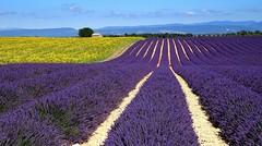 Provenza - Valensole - Lavande e girasoli (antoniobusso) Tags: france nature landscape miel provence lavande francia paesaggi provenza lavanda lavandin