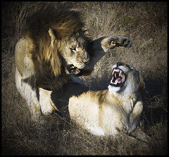 """Not now!!!! (A.M.G.1) Tags: africa cats andy nature animals canon southafrica flickr photographer natural african wildlife lion lions lioness krugernationalpark dominant borntobewild big5 goodman andygoodman malelion ngala naturesfinest kingofthejungle southafricanwildlife photography"""" amg1 ultimateshot southernafricanwildlife naturewatcher nginationalgeographicbyitalianpeople btbw goodmanandy wild"""" amgoodman wildlifeinsouthernafrica africanwildlifephotographer wildilfephotographer"""