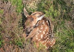 red deer calf IMG_7427a4j (Graham_Thorpe) Tags: derbyshire reddeer reddeercalf easternmoors