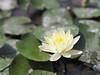 睡蓮 (Polotaro) Tags: flower nature pen olympus 花 自然 zuiko ペン スイレン オリンパス 7月 ズイコー mzuikodigital45mmf18 epm2