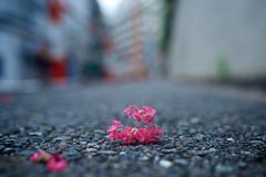 (sinkdd) Tags: pink flower 35mm nikon f14 sigma crepemyrtle crapemyrtle   lagerstroemia nikond800 sigma35mmf14dghsm