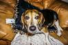 Cooper (dbubis) Tags: dog beagle hdr bubis dbphoto nex6