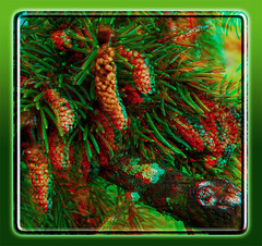 Baby Pine Cones 1 - Anaglyph 3D (DarkOnus) Tags: baby macro tree closeup pine lumix stereogram 3d cone pennsylvania anaglyph evergreen softwood needles stereography buckscounty cones conifer redcyan dmcfz35