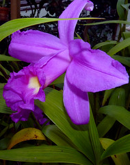 Sobralia (Mirabilis 'Summer White' x leucoxantha 'T') hybrid orchid 8-14 (explore: high was 472 on 9-4-14)* (nolehace) Tags: sanfrancisco summer orchid hybrid mirabilis sobralia 814 leucoxantha nolehace fz35