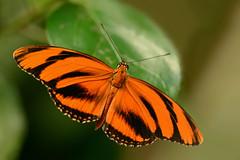 Dutch butterfly (Rene Mensen) Tags: orange black butterfly nikon micro emmen vlindertuin dryadula phaetusa d5100