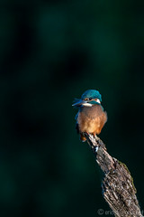Spotlighted Kingfisher (eric-d at gmx.net) Tags: eric kingfisher alcedoatthis eisvogel