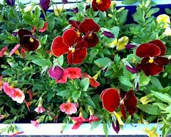 Window Box in Rockport (Posterized Photo) (randubnick) Tags: flowers art photography photograph painter posterized windowbox digitallymodified rockportma