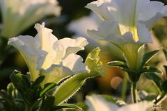 Petunia (Henk M gardenphotoblog) Tags: flowers summer garden zomer tuin bloemen hengelo nimg3537