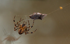 Spider Lunch (John_Nikon_D5000) Tags: beetle