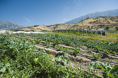 Farm View to Mountains (Anne Stephenson) Tags: mountain leaves leaf view earth farm grow soil dirt rows agriculture melon provo agricultural utahcounty drippers lanayferme cruciferousvegetableplants