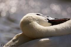 Headgames (flipkeat) Tags: portrait bird closeup swan different bokeh wildlife sony teeth awesome swans waterfowl mississauga cygne cisne avian trumpeter cygnus trompette a500 buccinator