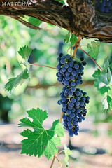 Napa Valley Grapes (Matt Ha's Photography) Tags: valley grapes napa