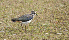 Lapwing - Rushy - Slimbridge - Autumn 2014 #2 (PontyCyclops) Tags: nature reserve gloucester wetlands trust lapwing wwt wetland slimbridge wildfowl rushy