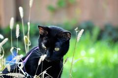 DSC3_7886 (heartinhawaii) Tags: pet cat blackcat kai kaimana catportrait petphotography catoutside catingrass nikond3100