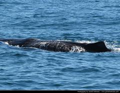 Sperm Whale, Kaikoura, New Zealand (JH_1982) Tags: ocean water animal island pacific south sperm sur whale te wai isla kaikoura wal le pounamu mamal sdinsel sugetier pottwal physeter macrocephalus  catodon