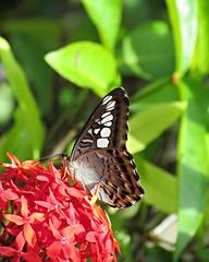 Clipper Butterfly (FlutterBy909) Tags: butterfly lepidoptera malaysia borneo orangutan sabah sanctuary sepilok kinabatangan sandakan clipperbutterfly lepidopteran